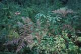 Ferns and Huckleberry Angelo Reserve Branscomb California.jpg