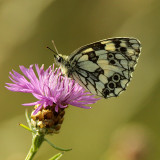 Butterfly with nice pattern on a wild floweron thistle