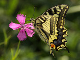 Great butterfly on small wild flower