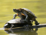 Ruthless turtle