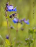 Tiny blue flowers on meadow.jpg