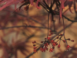 Maple in Bloom