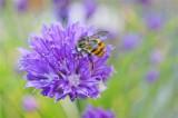 Bumble bee on onion.jpg