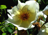 White Rose at Government House