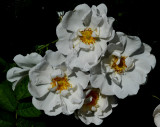 White Rose cluster at Government House