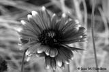 Monochrome Flower - JeanH