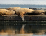 Sealions and Stellers in Cowichan Bay