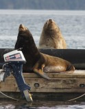 Californian and Steller Sea Lion in Cow Bay