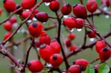 Berry rain drops