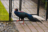 Exotic Runaway (Male Swinhoe Pheasant)