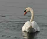 Suspicious Swan