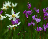 Erythronium and Dodecatheon