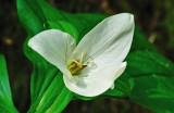 White Trillium 2