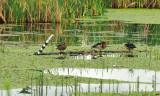 Wood bound Wood Ducks