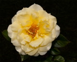 Gift Rose