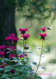 July 8, 2011 Hummingbird Moth