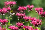 July 9, 2011 Hummingbird