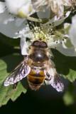 Bee1_crop_test.jpg
