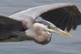 Heron1_100crop.jpg