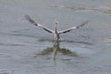 Heron3_crop.jpg