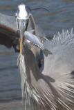 Heron5_100crop.jpg