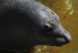 Elephant Seal, San Simeon