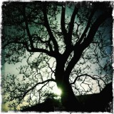 Oak Silhouette, Irish Hills
