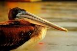 Pelican on the Monterey Commercial Dock