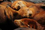 Sea Lions Sleep Next to the Monterey Pier