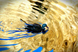 Duck, Merced River Reflection, Yosemite