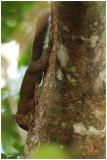 Ecureuil de la Guyane - Sciurus aestuans - Guianan squirrel