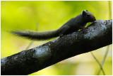 Petit Ecureuil de la Guyane - Sciurillus pusillus - Neotropical pygmy Squirrel