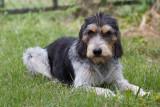 Blue a Griffon Bleu, our faithful dog,