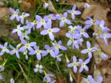 Bevy of Bluets