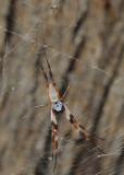 Spider - maybe a Golden Orb Spider?