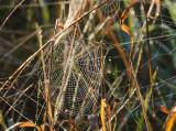 Cobweb in the grass