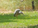 Juvenile White Faced Heron - through the window.