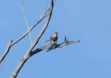 Brown Goshawk with Topknot Pigeon