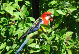 Male Eastern Rosella on the Clarey Sage -  through the glass door