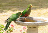 King Parrot juveniles