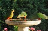 Juvenile King Parrots