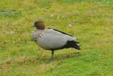 Male Wood Duck enjoying the damp weather
