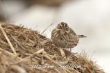 ipswich sparrow salisbury st. res. ma