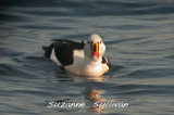 king eider atlantic ave gloucester