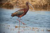 white faced ibis plum island