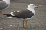 lesser black-backed gull salisbury