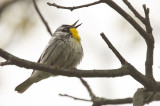 yellow_throated_warbler