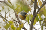 northern parula plum island