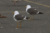 lesser black-backed gulls salisbury ma