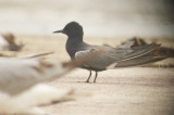 black_terns